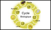 cycle biologique de la puce